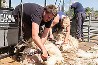 22.5.2020 Contractors shearing sheep <br /> ©Tim Scrivener Photographer 07850 303986<br />      ....Covering Agriculture In The UK....