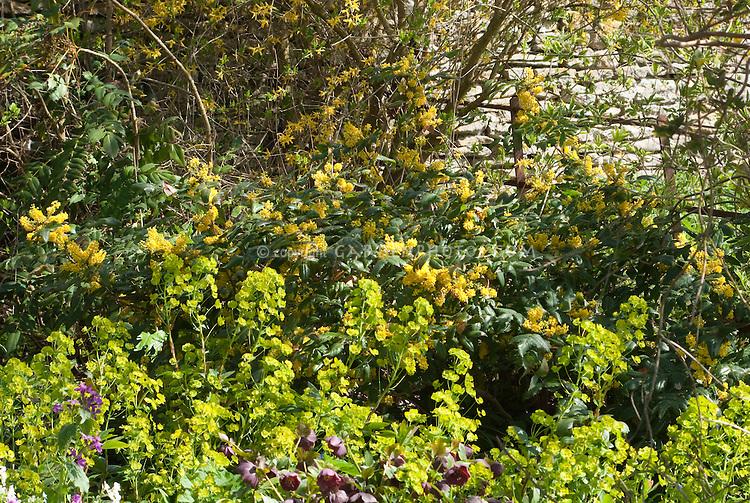 Mahonia aquifoium?, Euphorbia amygdaloides var. robbiae, Lunaria annua, Helleborus