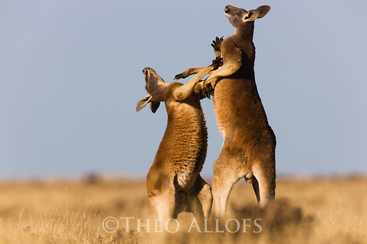 Australia,  NSW, Sturt National Park; adult red kangaroo males fighting over female (Macropus rufus); the red kangaroo population increased dramatically after the recent rains in the previous 3 years following 8 years of drought