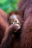 Juvenile Orangutan (Pongo pygmaeus) - Tanjung Puting National Park, Central Kalimantan Indonesia.