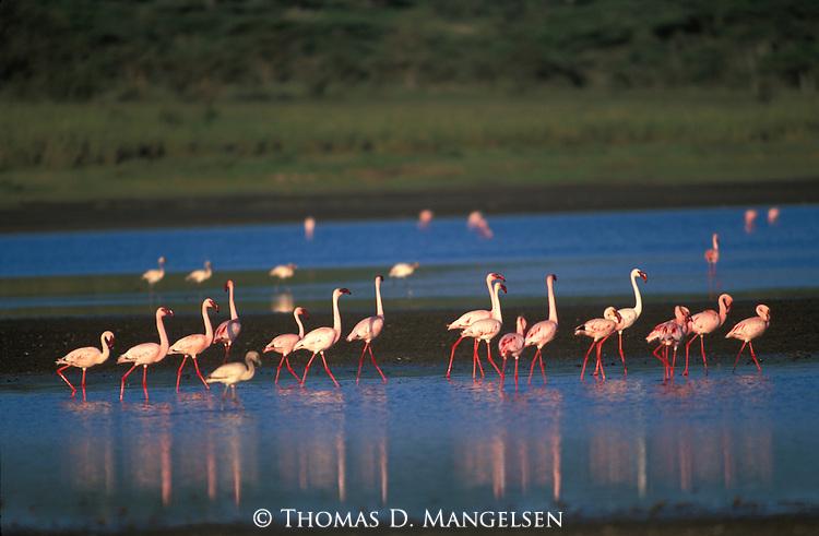 Lesser Flamingos (Phoenicopterus minor) Kenya, Africa