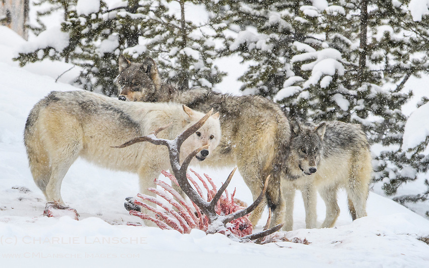 The white alpha female of the Wapiti Lake Pack feeds on a freshly killed bull elk with two other members of the pack on a cold February morning in the Yellowstone interior.  The alpha female is the only white wolf known in Yellowstone at the time this image was captured.