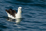 White-capped Albatross (Thalassarche steadi) on water, Kaikoura, South Island, New Zealand
