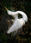 Great Egret,  Osceola County, Florida