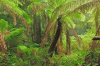 rainforest with Tree fern, Atherton Tablelands, Queensland, Australia