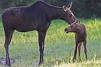 Moose cow interacting with her calf