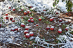 An early snow fall covers the apples that have fallen from the apple trees.