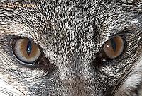 1118-0808  Gray Fox in Desert Closeup of Eyes, Urocyon cinereoargenteus © David Kuhn/Dwight Kuhn Photography