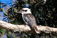 Laughing Kookaburra, Tomaree NP, NSW,  Australia
