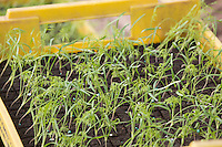 Fennel plants waiting to be planted <br /> Picture Tim Scrivener 07850 303986 <br /> scrivphoto@btinternet.com<br /> &hellip;.covering agriculture in the UK&hellip;.