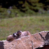 Young Hoary Marmots (Marmota caligata) basking on Rock in Sun, BC, British Columbia, Canada, Summer - North American Wildlife