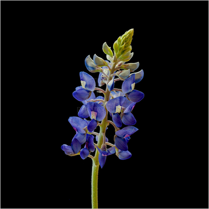 The Texas Bluebonnet is the state flower of Texas. This bluebonnet portrait was taken against a black background.