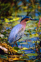 GREEN HERON HUNTING THE LILY PADS
