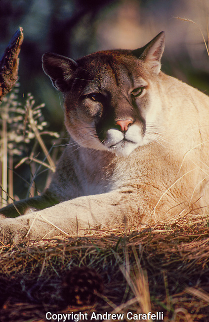 A Colorado mountain lion or cougar, keeps his eyes focused for possible intruders.