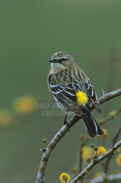 Yellow-rumped Warbler, Dendroica coronata,adult  on blooming Huisache (Acacia farnesiana), Lake Corpus Christi, Texas, USA