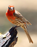Adult male house finch