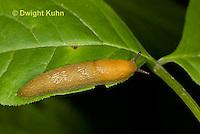 1Y12-510z Woodland slug, Dusky Slug, Arion subfuscus