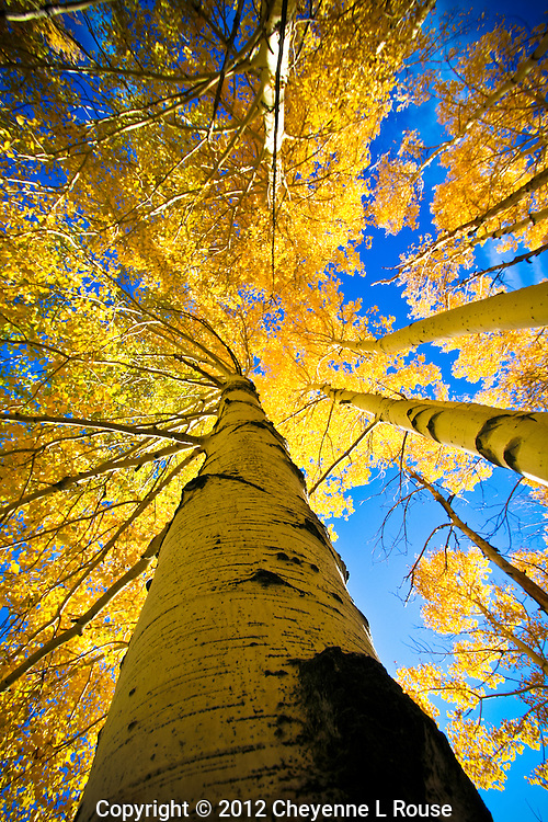 Yellow Rising - Arizona - fall colors in Flagstaff. All rights reserved