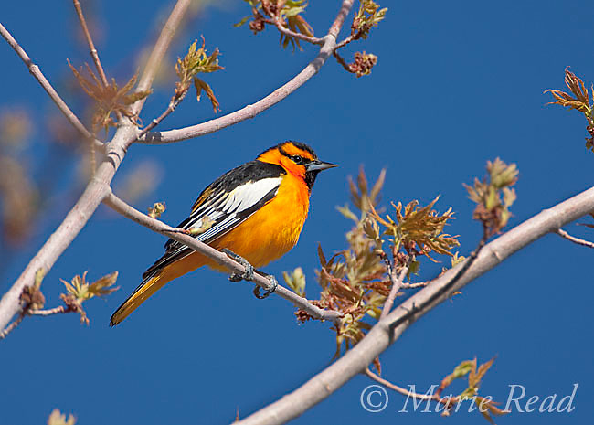 Bullock's Oriole (Icterus bullockii), male, Mono Lake  Basin, California, USA