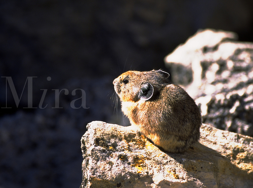 Pica on rocks in Yellowstone National Park, Wyoming. Wyoming, Yellowstone National Park.