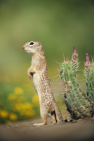 Mexican Ground Squirrel (Spermophilus mexicanus), adult standing, Laredo, Webb County, South Texas, USA