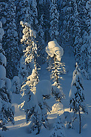 Morning light on conifeorus forest at Lake Louise, Banff National Park, Alberta, Canada