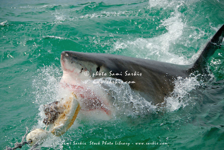 Great White Shark (Carcharodon carcharias) breaking waters surface, Gansbaii, Dyer Island, South Africa