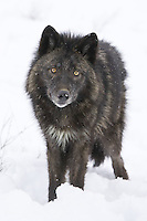 Grey wolf standing in the falling snow while watching intently - CA