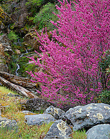 Sierra National Forest, CA<br /> Flowering redbud (Cercis canadensis) with small running stream in the Merced River Canyon