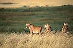 Lions on the Serengeti