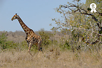 South Africa, Kruger NP, Giraffe (Giraffa camelopardis), side view (Licence this image exclusively with Getty: http://www.gettyimages.com/detail/200482572-001 )