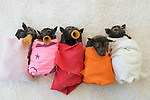 Fruitbats or spectacled flying fox (Pteropus conspicillatus) babies or bubs wrapped in cloth ready for feeding in the nursery at Tolga Bat Hospital.