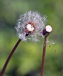 Dandilion seedheads seen at the Ashokan Reservoir area near Olivebridge, NY, on Friday, May 12, 2017.. Photo by Jim Peppler. Copyright Jim Peppler/2017.