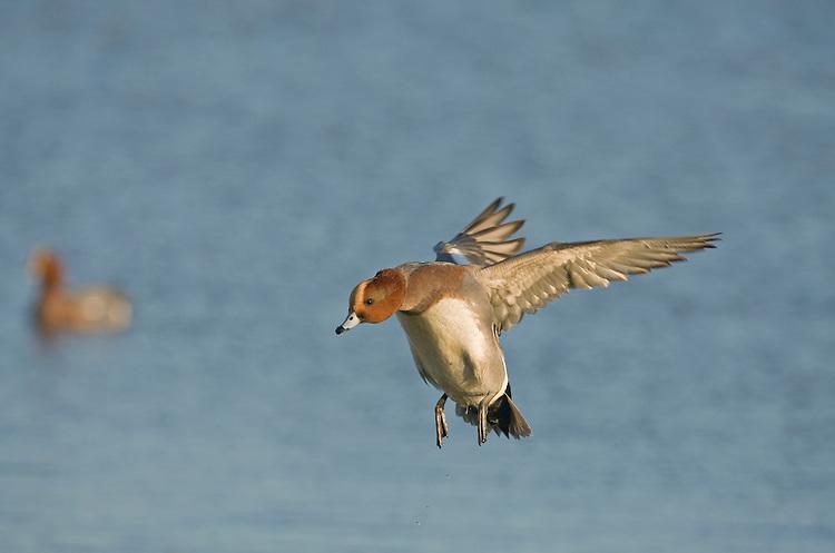 Wigeon - Anas penelope - male