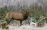 Elk, Wapiti, Cervus elaphus, bull calling, bugling in snow,  Yellowstone NP,Wyoming, September 2005