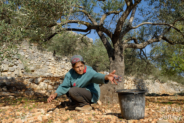 Sara Fawadleh harvests olives in her grove in the West Bank village of Aboud. She and her husband, Abdalah Sharqawi, are losing hundreds of trees to the construction of the Israeli separation barrier..