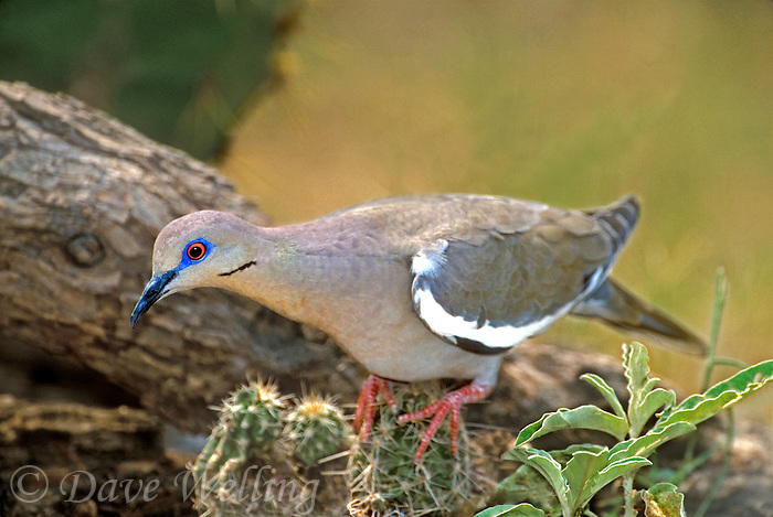 518240004 a wild white-winged dove zenaida asiatica perches on a small cactus plant in the rio grande valley in south texas