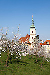 Cherry trees blooming in  spring on Prague's Petrin Hill with the Church of Our Lady Victorious at the base of the hill, Prague, Czech Republic, Europe