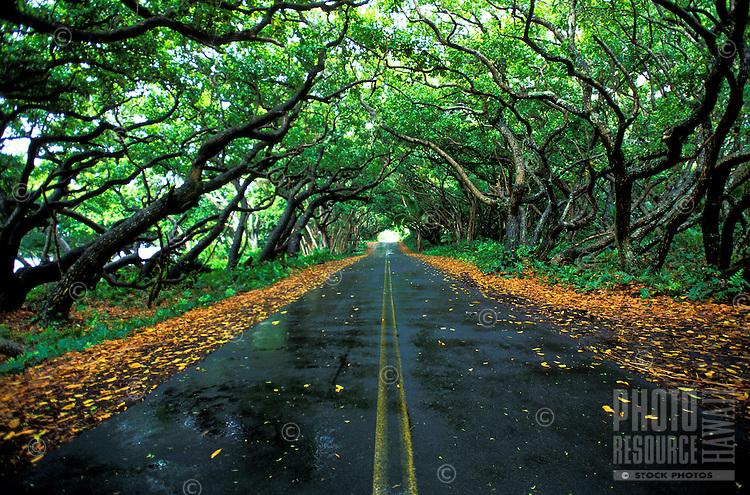 Kamani trees form canopy over quiet coastal road on the Big Island of  Hawaii.