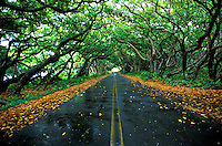 Kamani trees form canopy over quiet coastal road on the Big Island of  Hawaii.