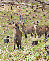 Waterbuck, St Lucia Wetland Park, SA