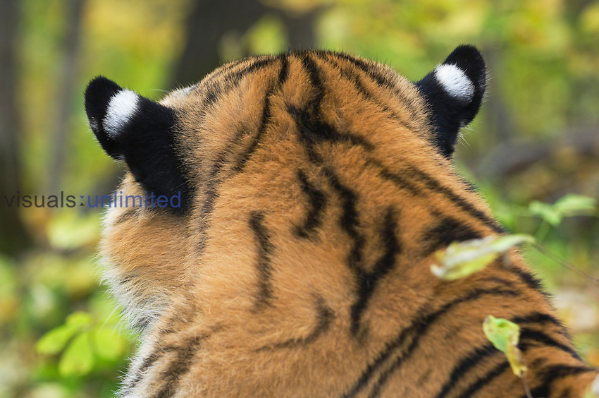 The back of a male Siberian or Amur Tiger head (Panthera tigris altaica).