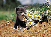 Carl, ANIMALS, photos(SWLA909,#A#) Katzen, gatos