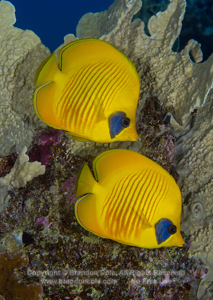 TG75183-Dr. Masked Butterflyfish (Chaetodon semilarvatus), also called Bluecheek, or blue-cheeked, or golden butterflyfish. Limited distribution, found only in Red Sea and Gulf of Aden. Often seen in pairs or small aggregations hovering near healthy stands of coral. Egypt, Red Sea.<br /> Photo Copyright &copy; Brandon Cole. All rights reserved worldwide.  www.brandoncole.com