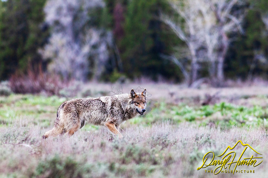 Yellowstone wolf on the prowl, alpha female of the Pacific Creek Pack of Grand Teton National Park.