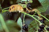 Hazelmuis (Muscardinus avellanarius)