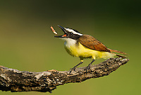 554810199 a wild great kiskadee pitangus sulphuratus feeds on a water bug at laguna seca ranch edinburg texas united states