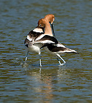 American Avocet.Recurvirostra americana mating dance at the San Joaquin Wildlife Sanctuary Irvine, Ca. March 18, 2009. Fitzroy Barrett