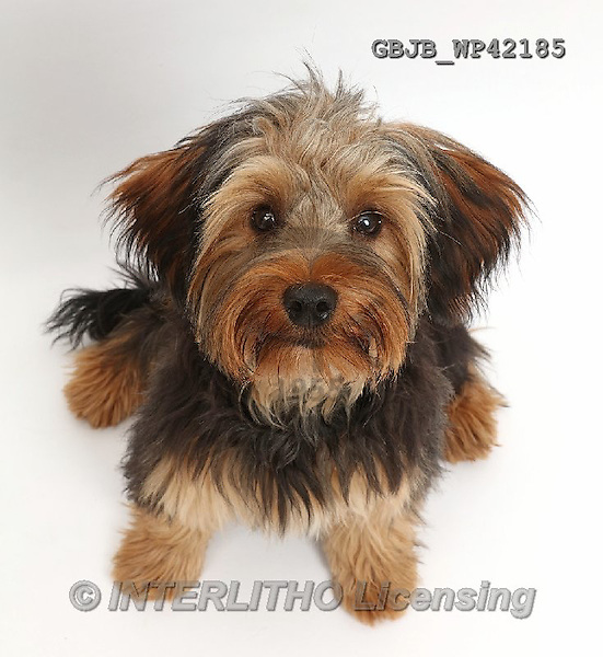 Kim, ANIMALS, REALISTISCHE TIERE, ANIMALES REALISTICOS, fondless, photos,+Yorkipoo dog, Oscar, 6 months old,++++,GBJBWP42185,#a#