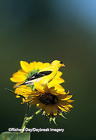 01640-028.14 American Goldfinch male (Carduelis tristis) on Common Sunflower (Helianthus annuus)   IL